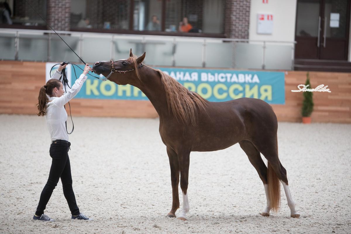 Конная Россия - 2017. Алена Шмелика.